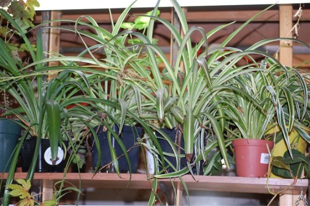 Chlorophytum comosum varieties cultivars