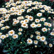 butterfly-shasta-daisy
