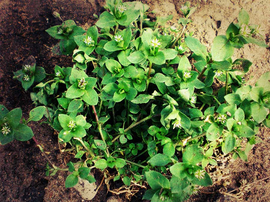 Hows Your Soil? Your WEEDS Will Tell You