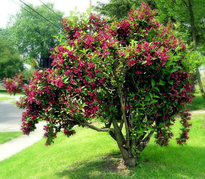 bristol ruby weigela shrub super spring flower power. Black Bedroom Furniture Sets. Home Design Ideas