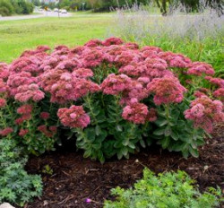 winter-garden-autumn-joy-sedum