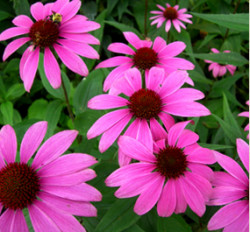 winter-garden-echinacea-ruby-swan