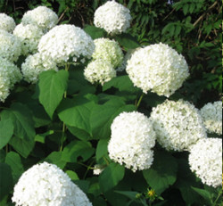 winter-garden-hydrangea-annabelle