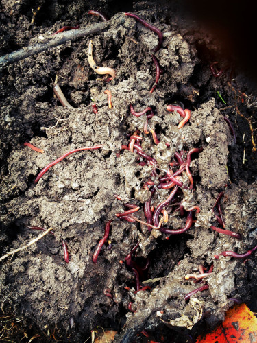 worms? YES! with great garden soil