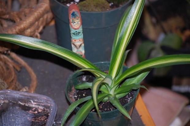 Chlorophytum comosum hawaiian spider plant