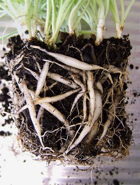 Chlorophytum Comosum Roots