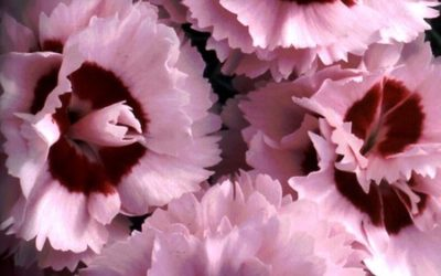 Dianthus 'Raspberry Sunrise'