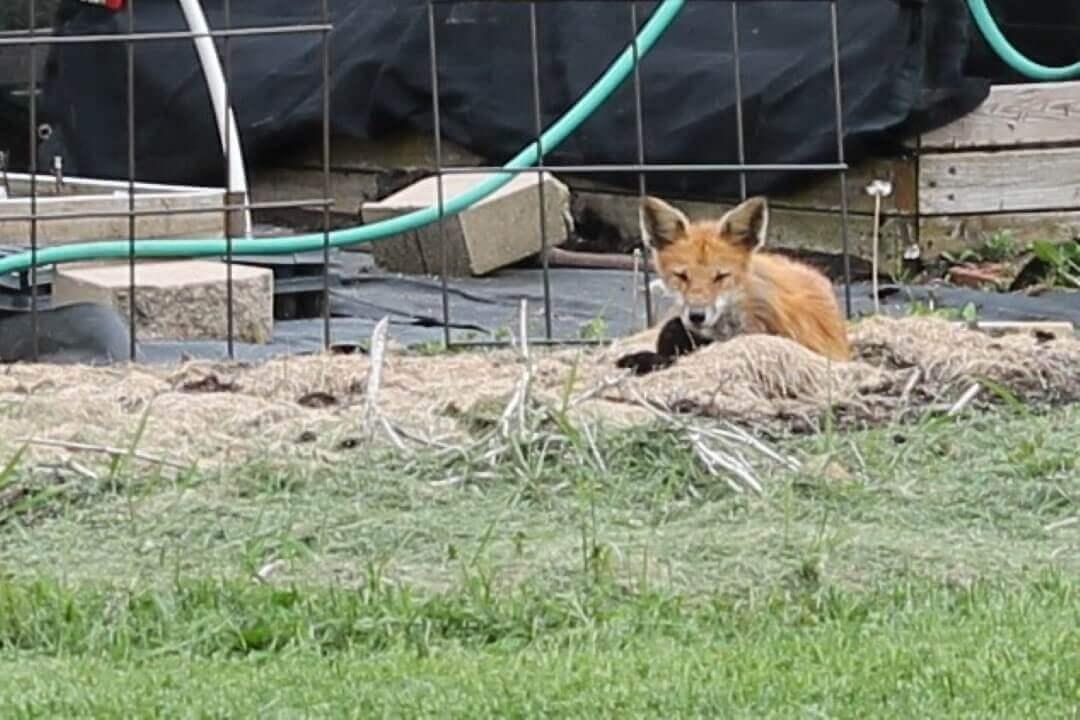 Fox Bed in Garden 2020
