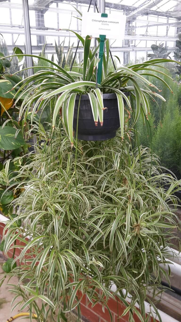 Healthy Spider Plant at the Nursery