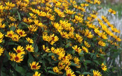 Heliopsis 'Summer Nights'