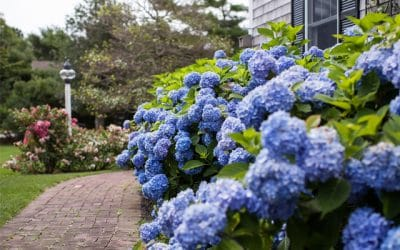 Hydrangea 'Summer Beauty'