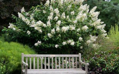 Hydrangea 'Tardiva'