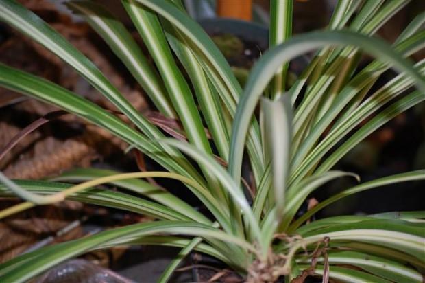 Variegated Spider Plant Chlorophytum comosum Variegatum