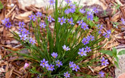 Blue Eyed Grass 'Lucerne'