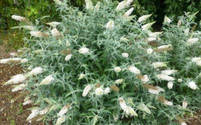 Butterfly Bush 'White Ball'