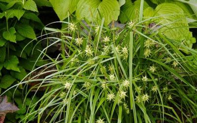 Carex Grayi