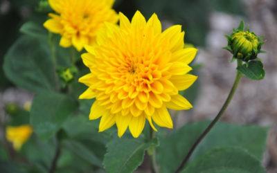 Helianthus 'Flore Pleno'