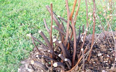 Pruning Spirea… and Other Nasty Things You Can Do to a Shrub