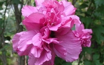 Rose of Sharon – Double Pink